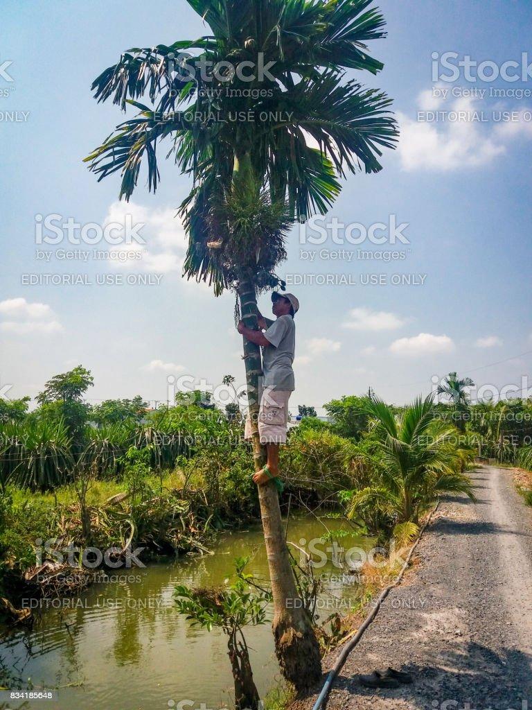 Man climbing in a areca tree stock photo