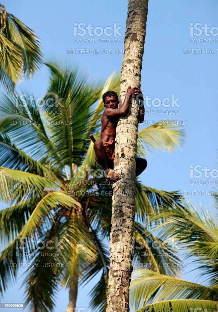 man climbs on a palm tree stock photo