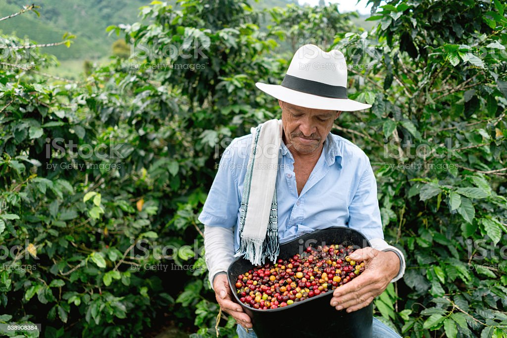 Man collecting coffee beans at a farm stock photo