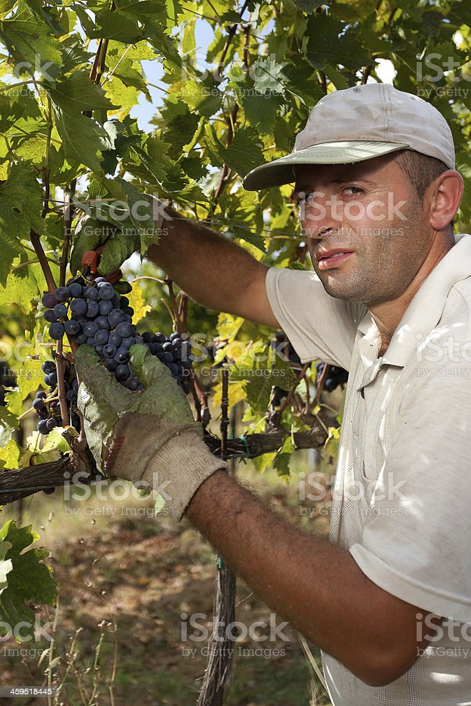 Man collects bunch of grapes stock photo