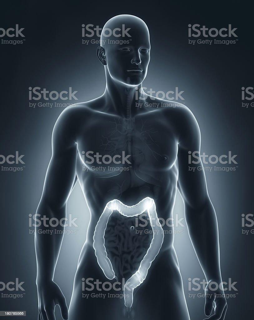Man colon anatomy anteriror view royalty-free stock photo