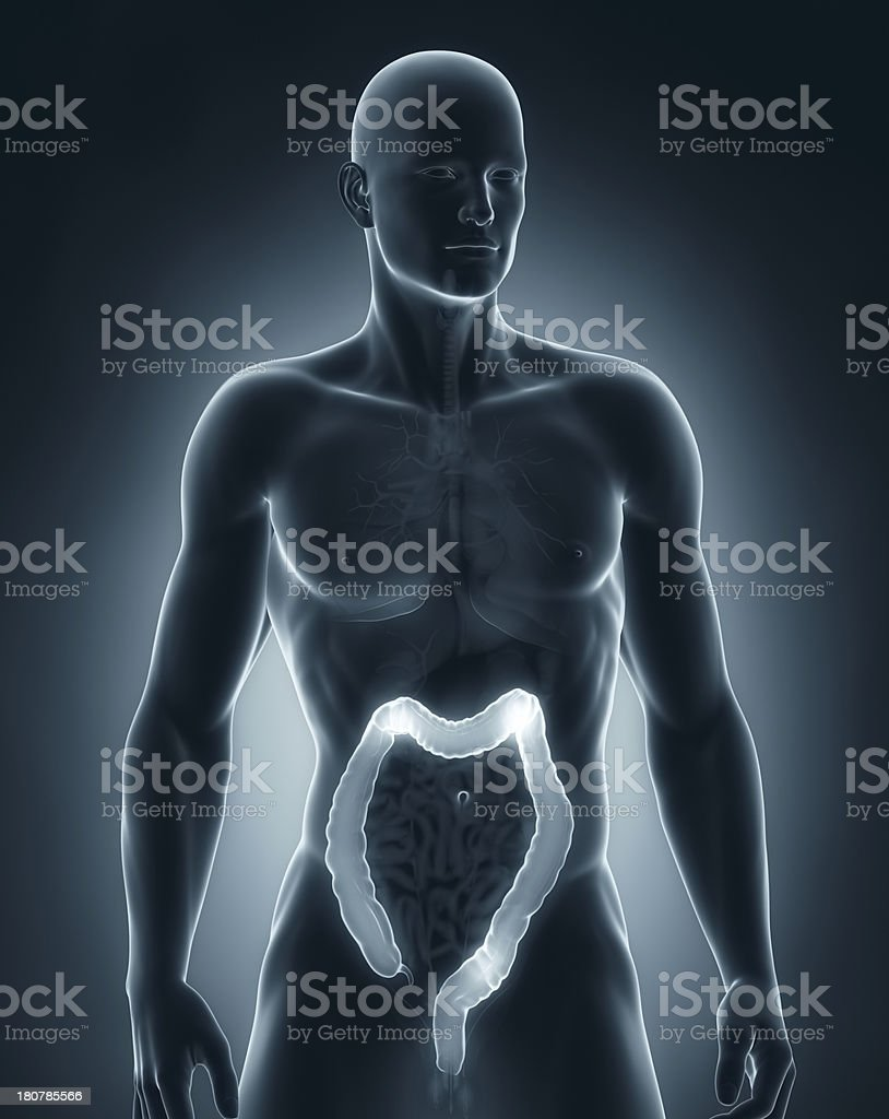 Man colon anatomy anteriror view stock photo
