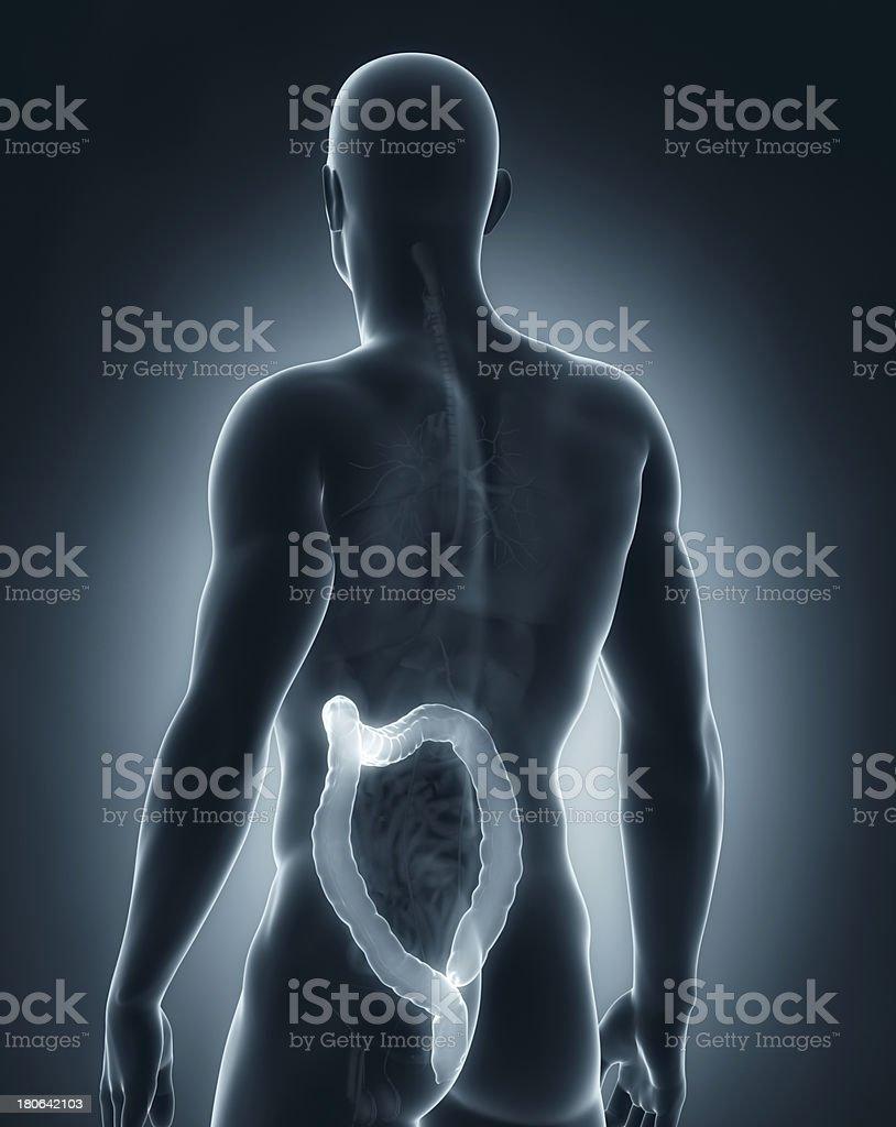 Man colon anatomy royalty-free stock photo