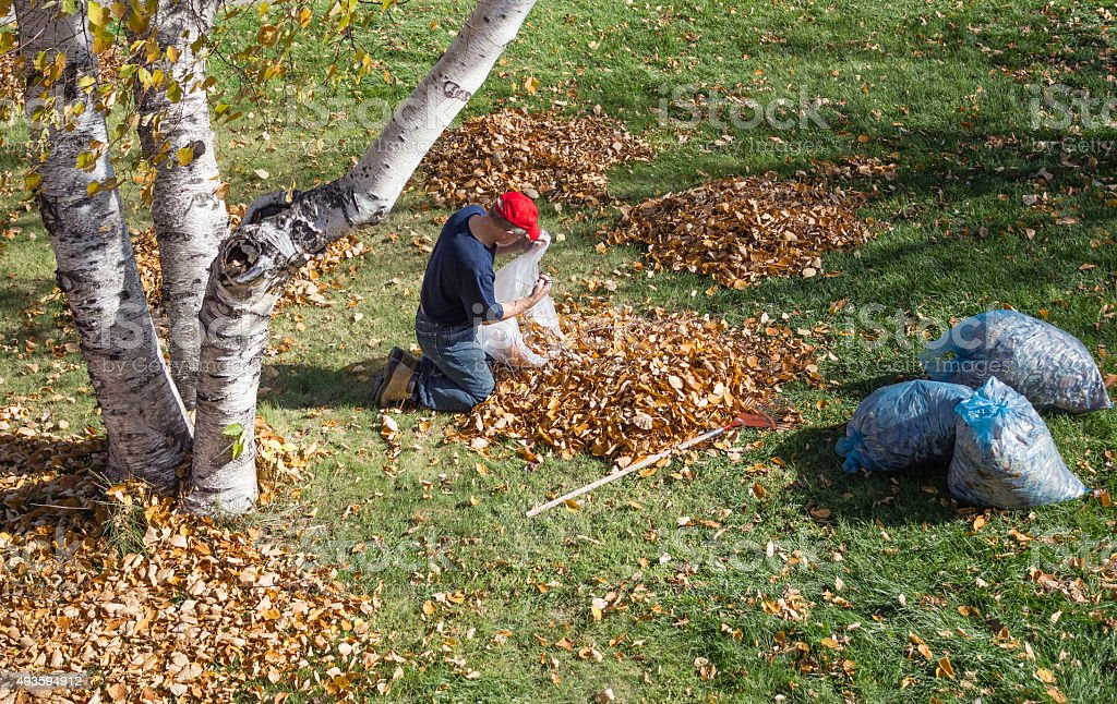 man crouching on the ground putting fall leaves in bag stock photo