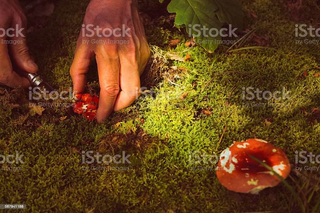 Man cuts a mushroom in the forest stock photo