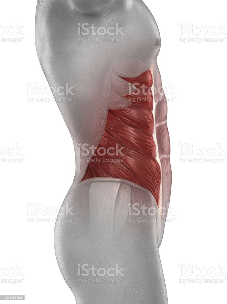 Man external oblique muscle anatomy isolated stock photo