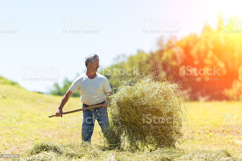 Man farmer turns the hay with a hay fork stock photo