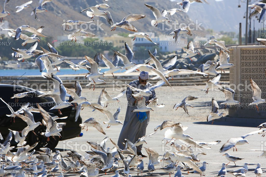 Man feeding black-headed gulls at the Mutrah Corniche Muscat stock photo
