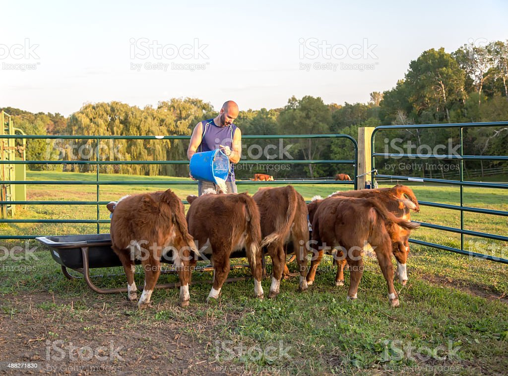 Man Feeding Corn To Hereford Calves in Evening stock photo