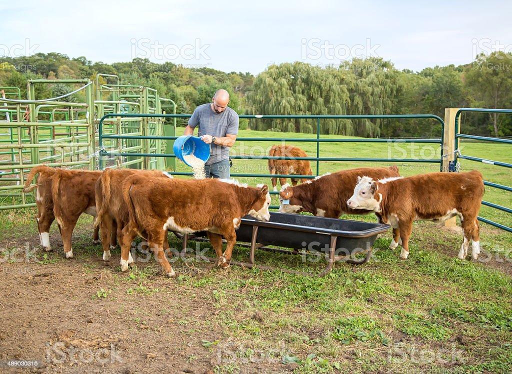 Man Feeding Corn to Hereford Calves stock photo