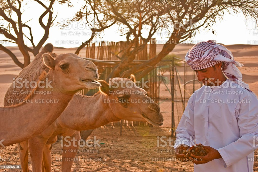 Man feeding dates to young camels, Wahiba Sands, Oman stock photo