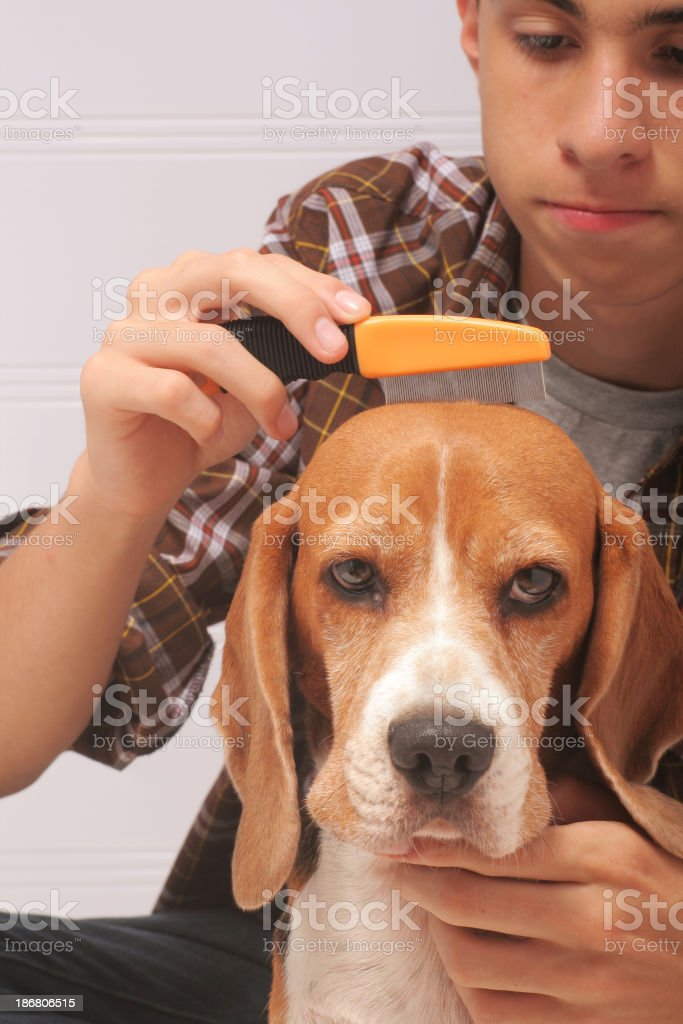 Man grooming his dog with a flea comb stock photo