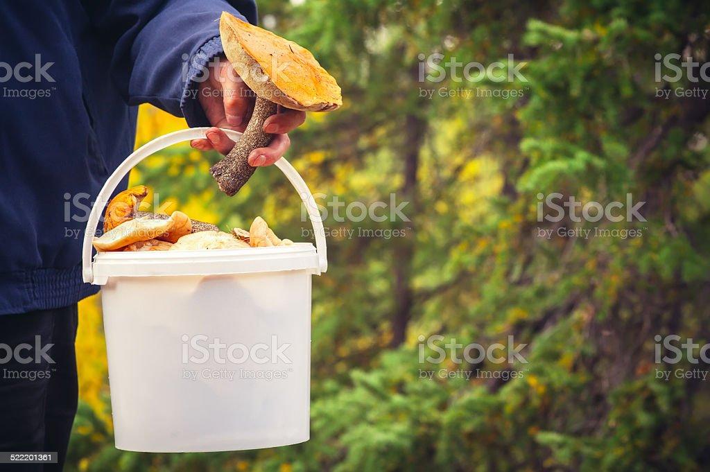Man hand holding Mushroom pail fresh picked organic food stock photo