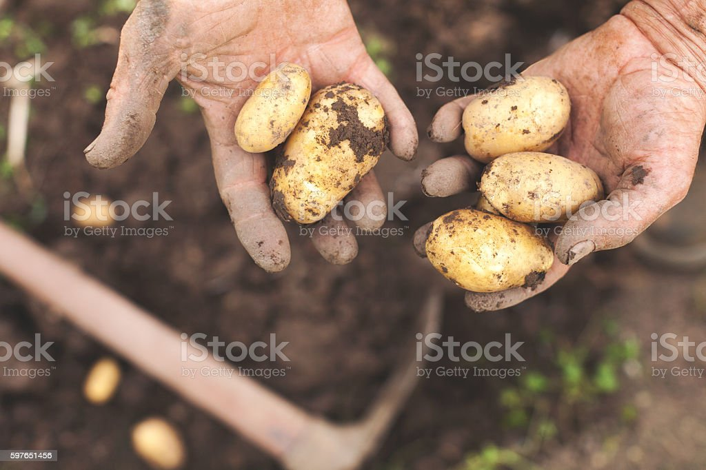 Man Hands Holding Raw Potatoes in Above of Harvested Soil stock photo
