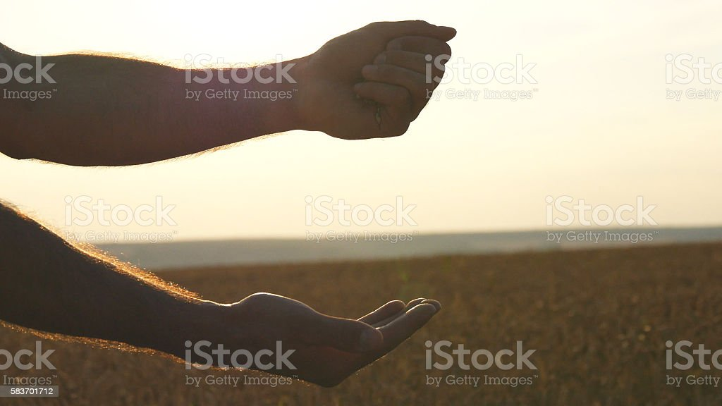 Man hands pouring ripe wheat golden grains at sunset.  grain foto de stock libre de derechos