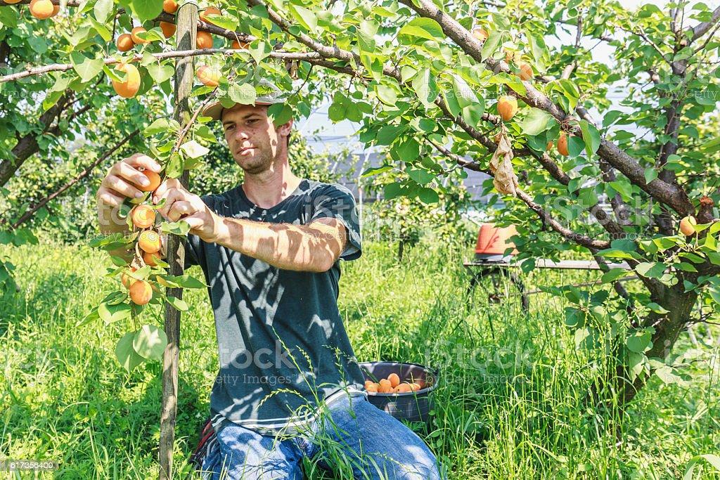 Man harvest fruit tree stock photo