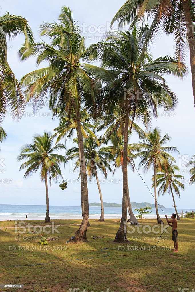Man harvesting coconuts in Palawan, in the Philippines stock photo