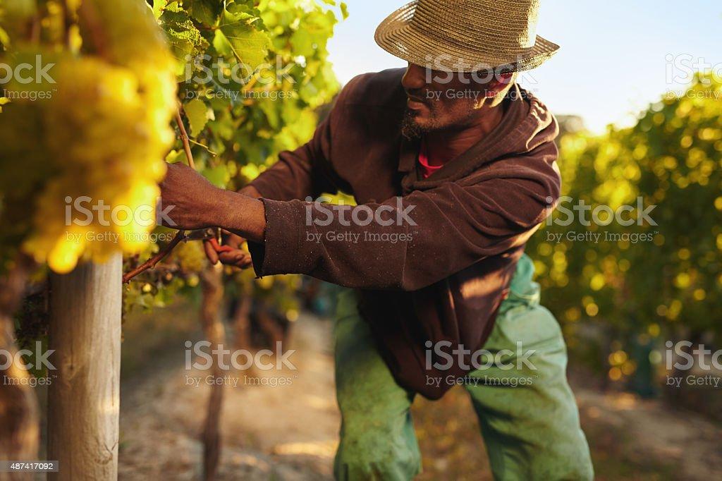 Man harvesting grapes in vineyard stock photo