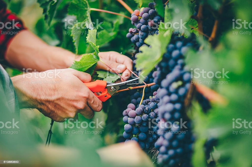 man harvesting in vineyard stock photo