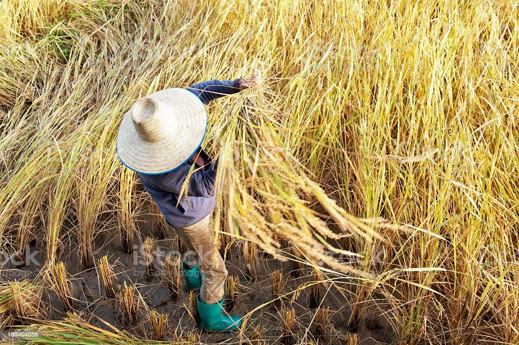 Man Harvesting Rice royalty-free stock photo