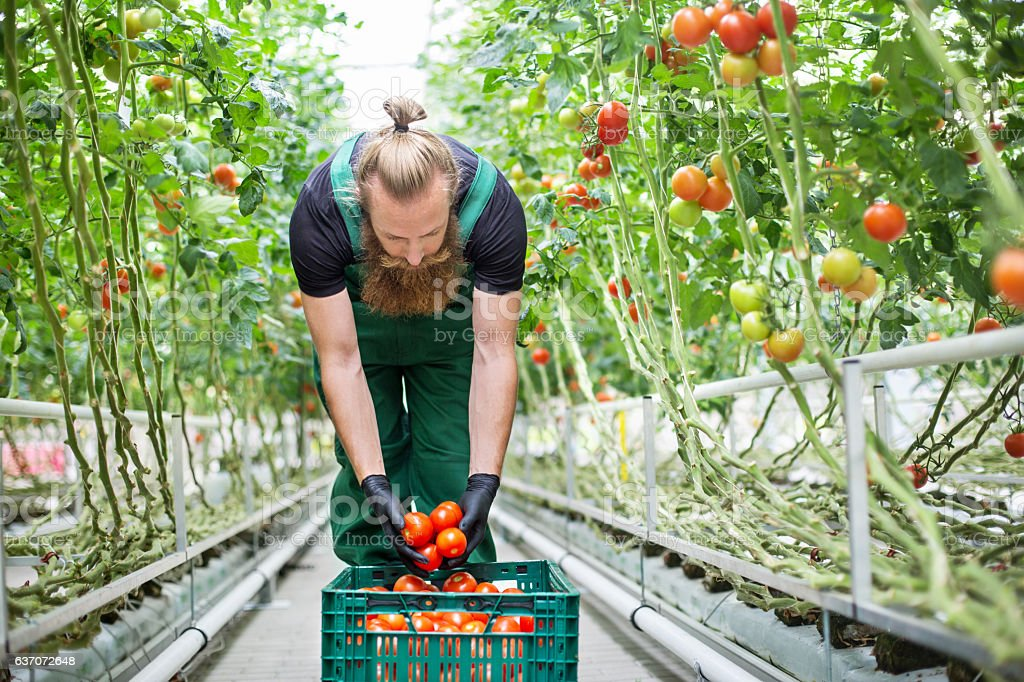 Man harvesting tomatoes in greenhouse stock photo