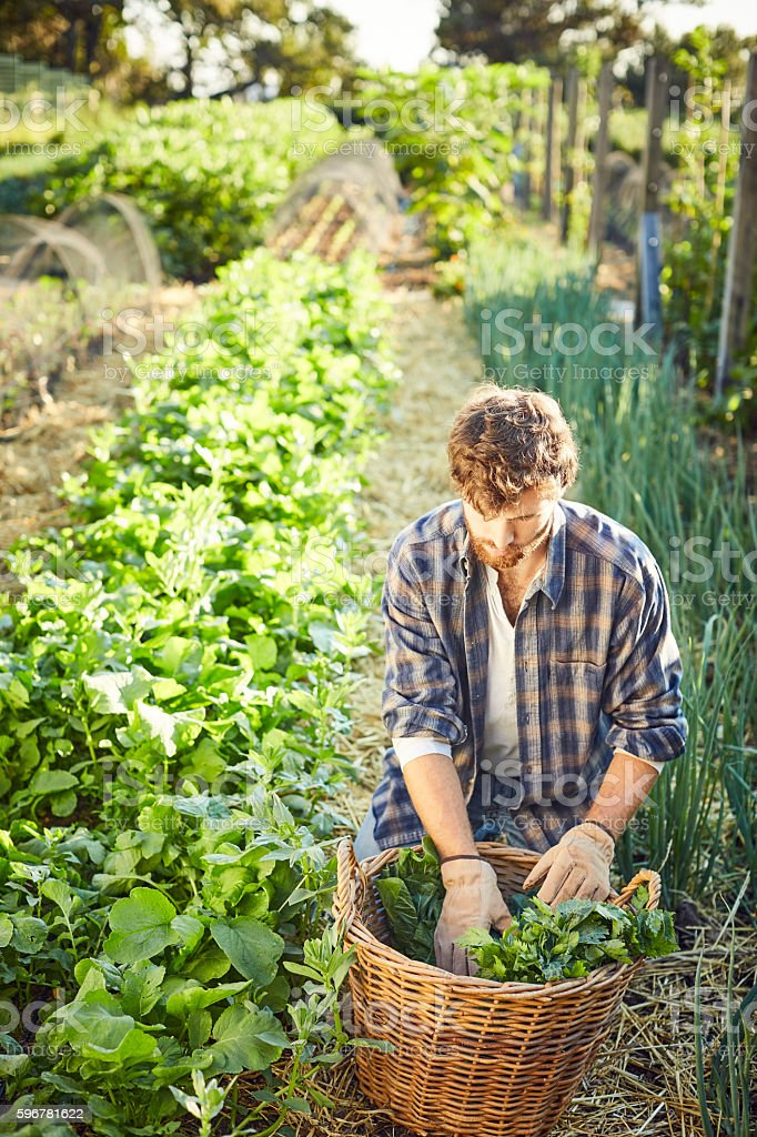 Man harvesting vegetables in organic farm stock photo