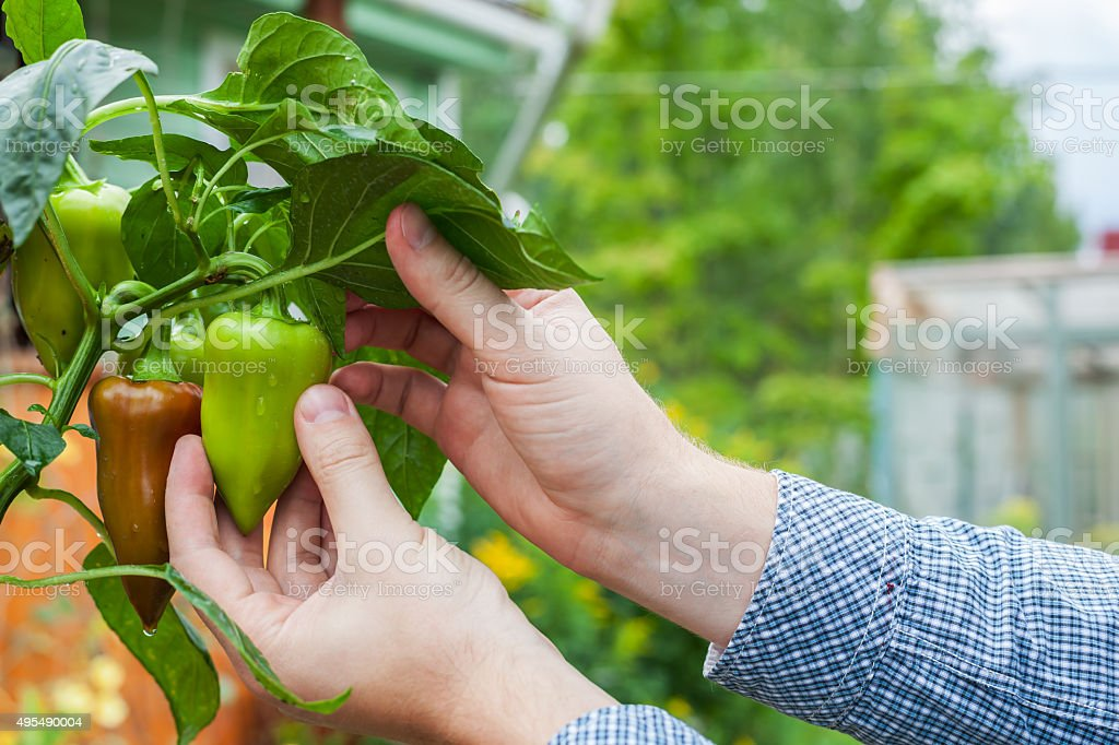 man harvests green peppers stock photo