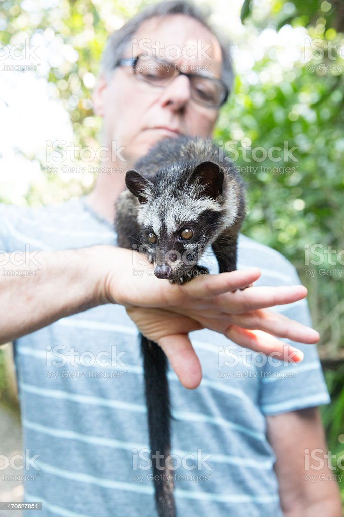Man has Asian Palm Civet on hand in Bali  rm stock photo