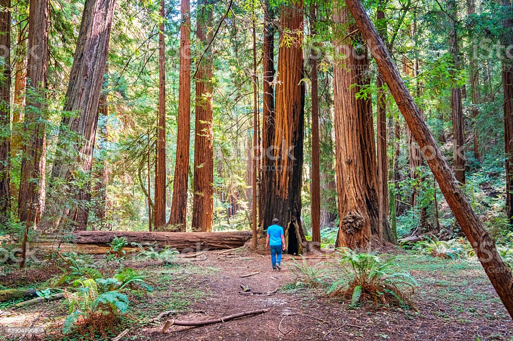 Man Hikes among Redwood Trees Muir Woods National Monument California stock photo