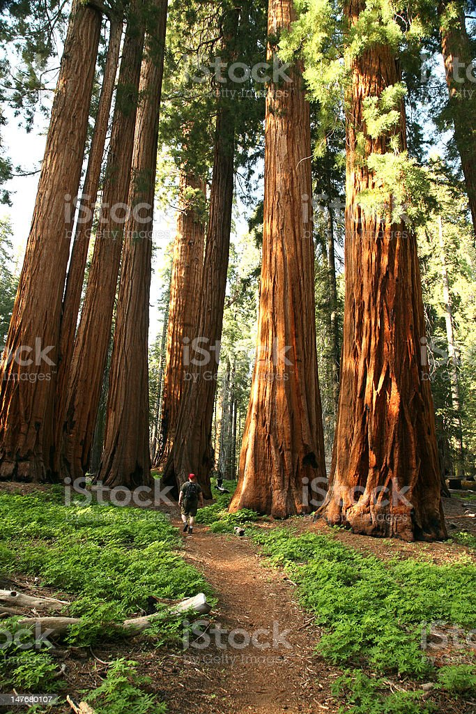 Man Hiking on Trail Next to Redwood Grove stock photo