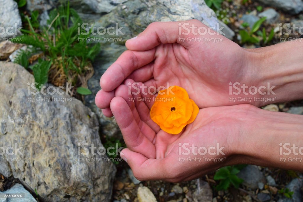 Man hold orange bud of Trollius europaeus flower in his palm hands stock photo