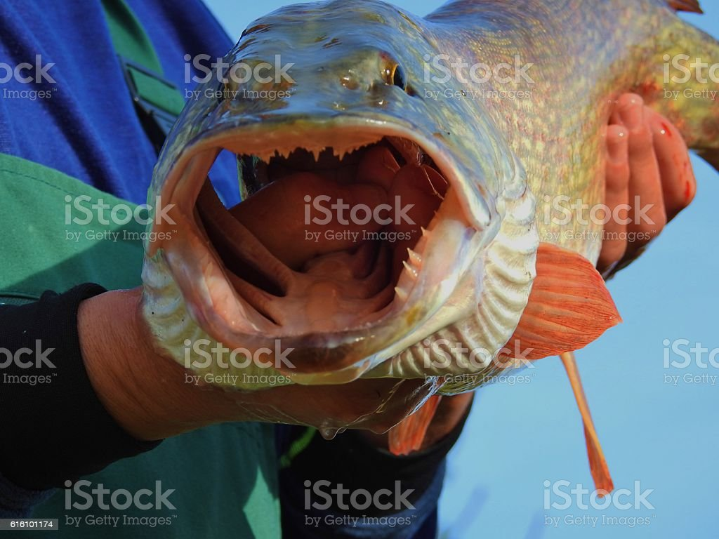 Man holding a pike with a wide open mouth stock photo