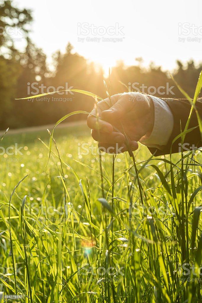 Man holding blades of fresh green grass stock photo
