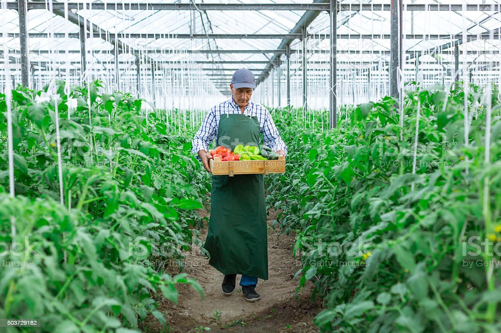 Man Holding box Of  Vegetables in Greenhouse stock photo