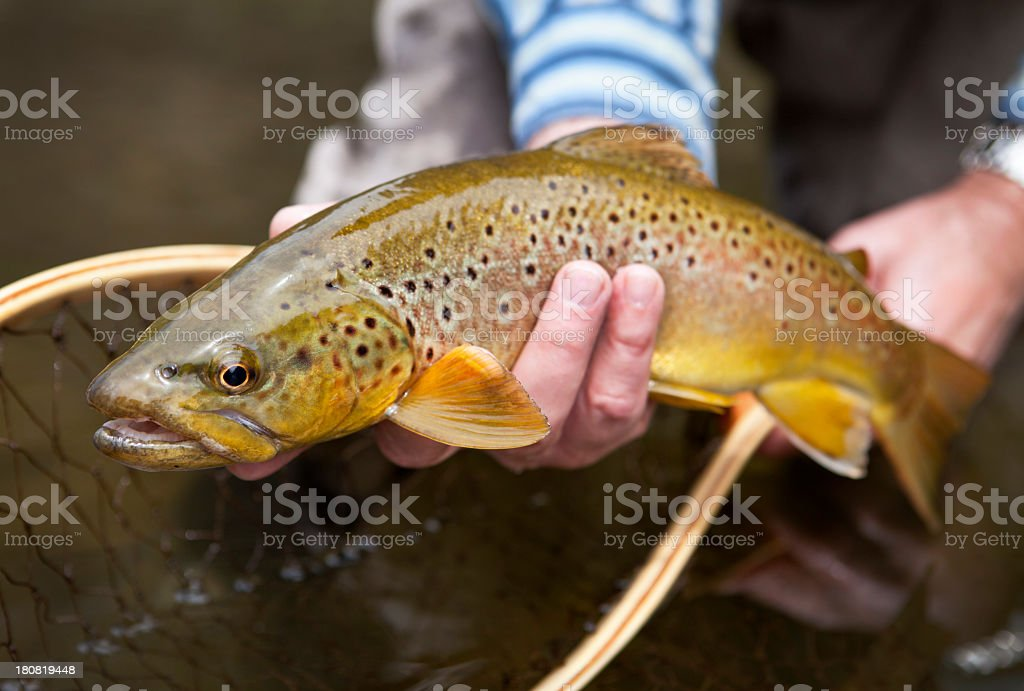 Man Holding Brown Trout Before Releasing It. stock photo