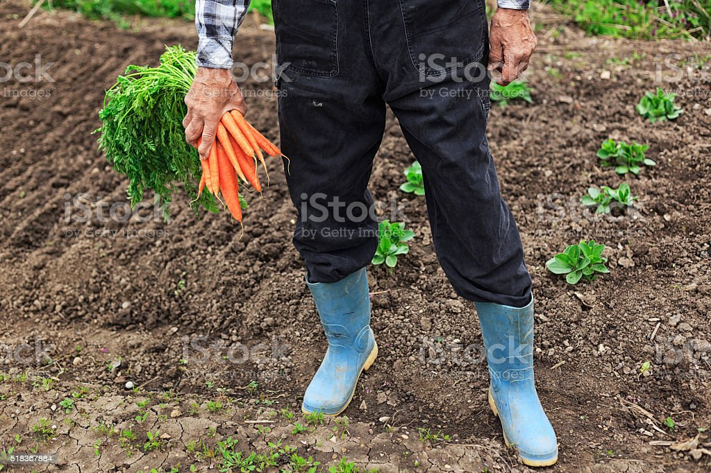Man holding bunch of carrots stock photo