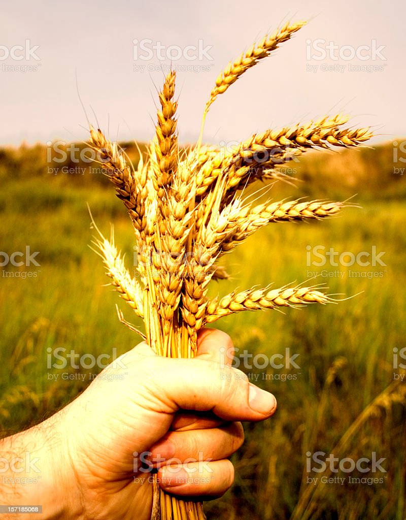 Man holding fistful of wheat with field in background royalty-free stock photo