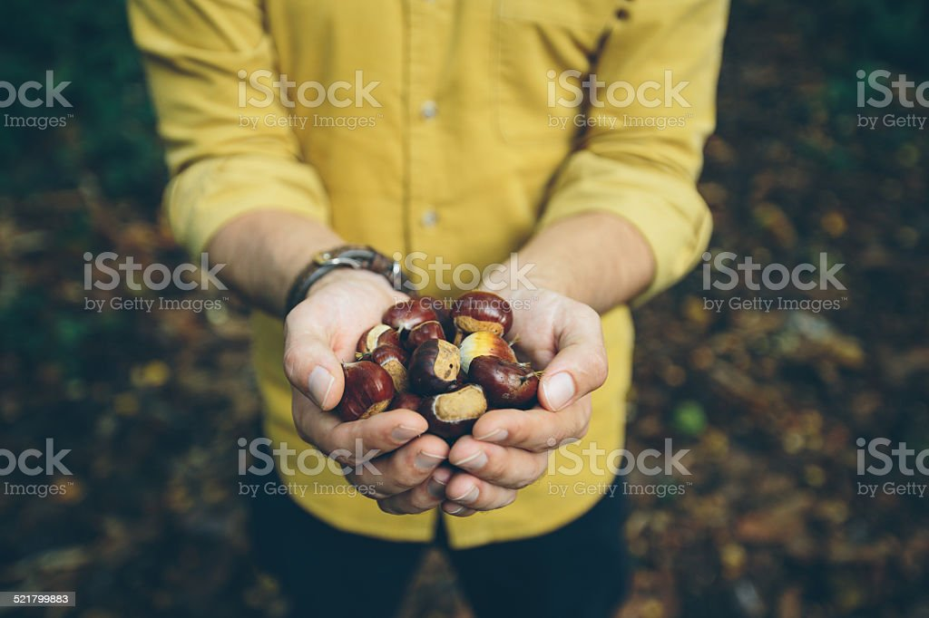 Mann hält frische Kastanien von englischen forest Lizenzfreies stock-foto