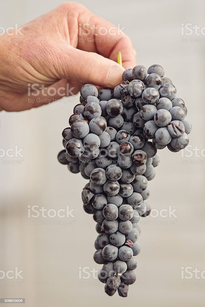 Man Holding Ripe Grapes stock photo