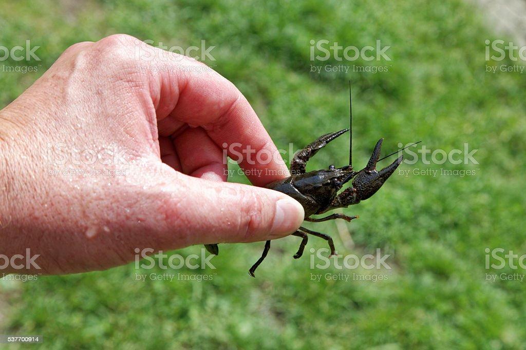 man holding wild crayfish stock photo