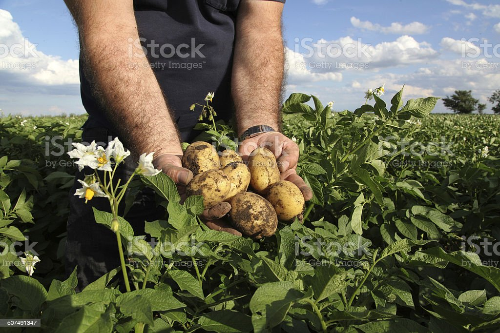 Man holding yellow potatoes in hands stock photo