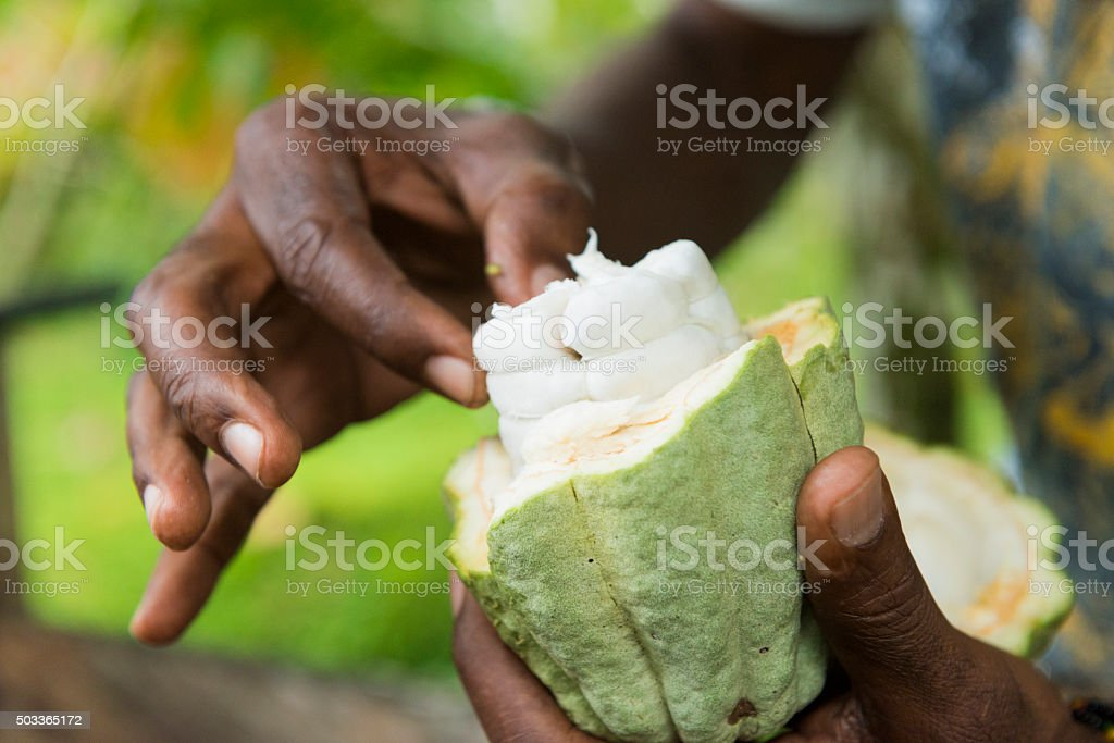Man Holds Cacao Fruit in Cahuita Costa Rica stock photo