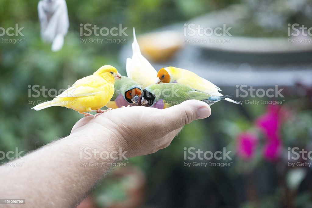 Man holds four finches in his hand royalty-free stock photo