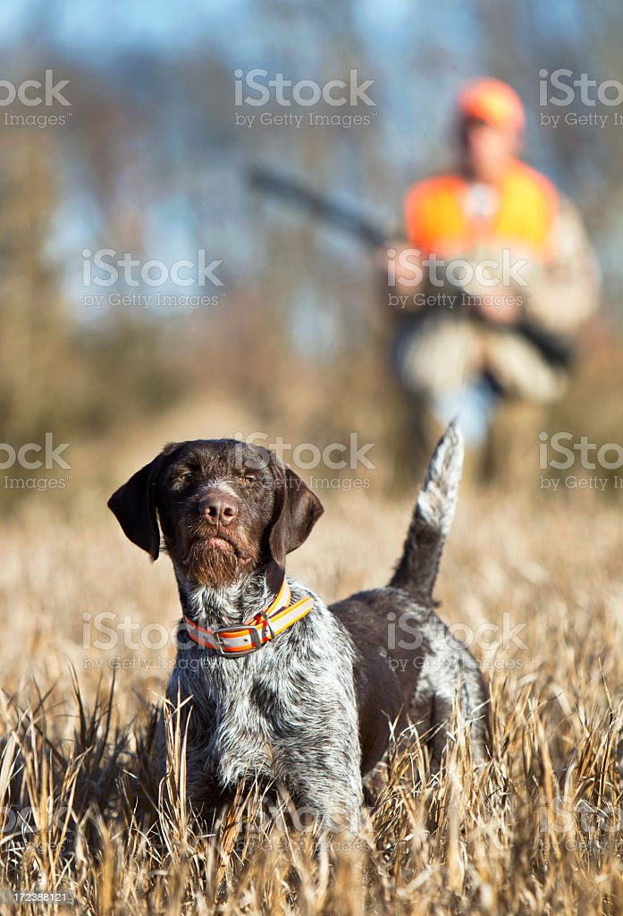 Man hunting with German Wirehaired Pointer stock photo