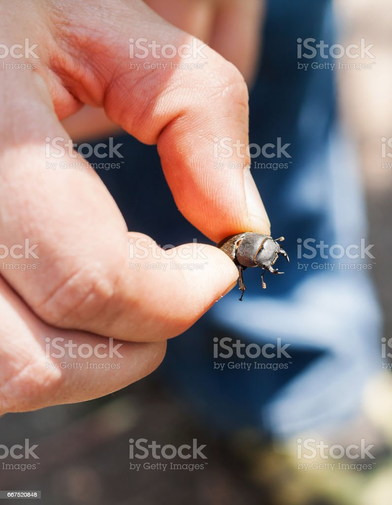 A man in his hand holds a stag beetle stock photo