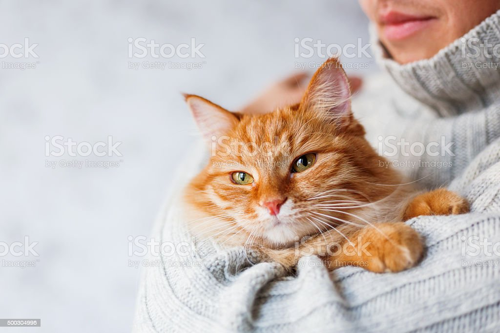 Man in knitted sweater holding ginger cat. stock photo