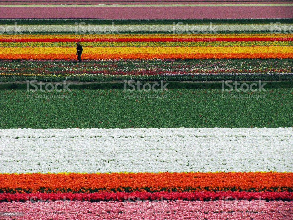 Man in tulip fields stock photo