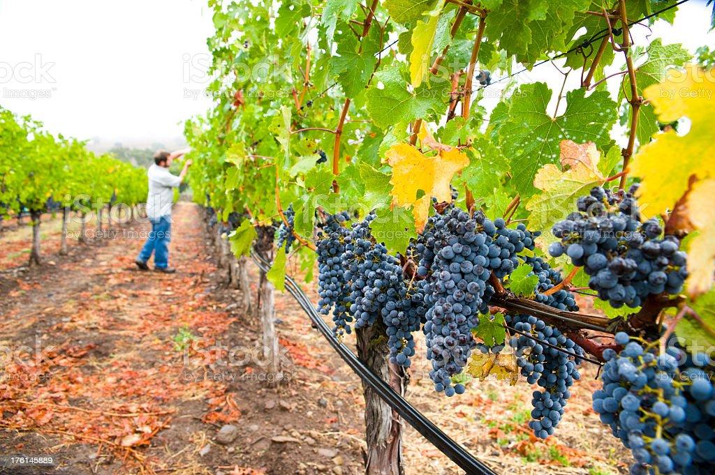 Man inspecting vineyard grapes at winery in Napa Sonoma California stock photo