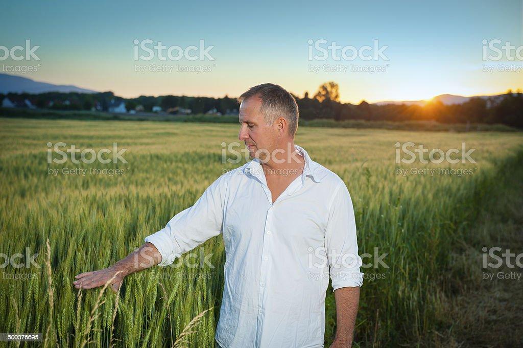 Man inspecting wheat field royalty-free stock photo