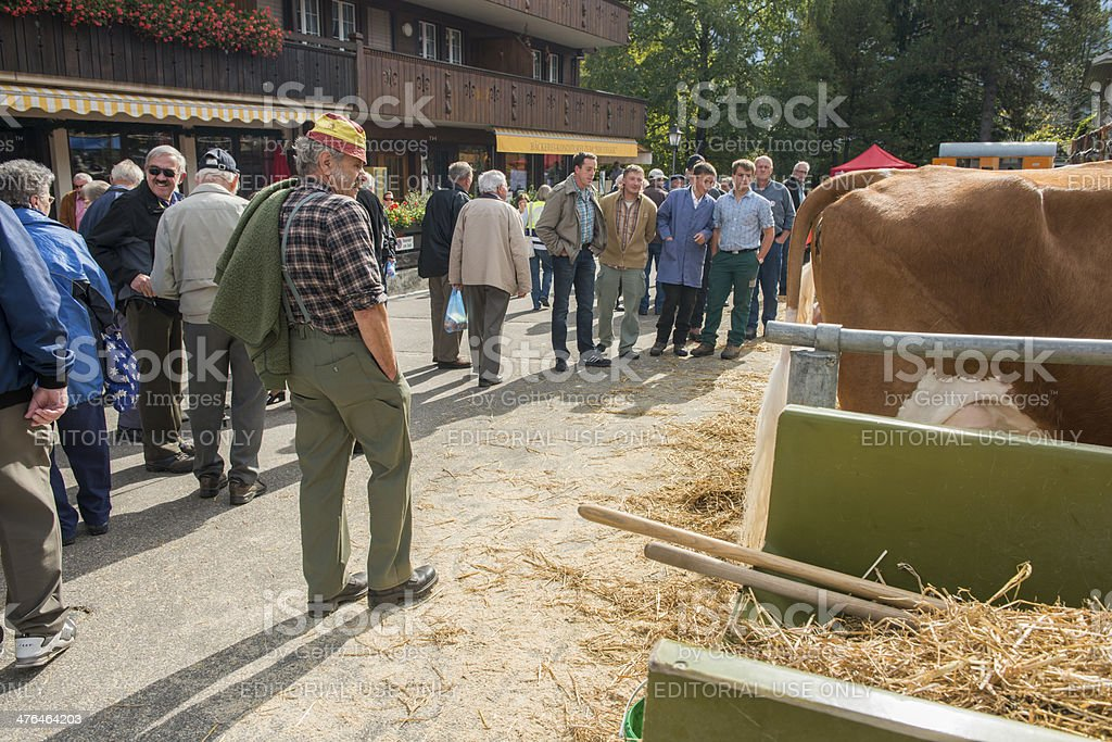 Man Inspects Cattle stock photo